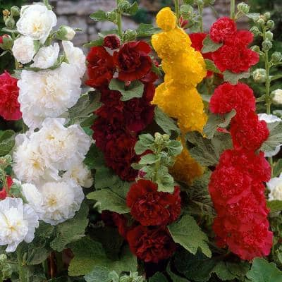 Double Hollyhock Mixture Roots (5-Pack)