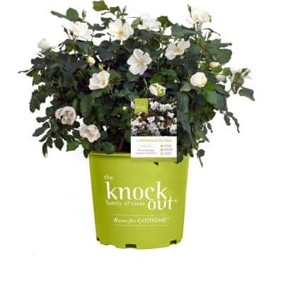 1 Gal. The White Knock Out Rose Bush with White Flowers