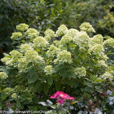 1 Gal. Little Lime Hardy Hydrangea (Paniculata) Live Shrub, Green to Pink Flowers