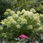4.5 in. Qt. Little Lime Hardy Hydrangea (Paniculata) Live Shrub, Green to Pink Flowers
