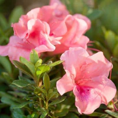 2 Gal. Autumn Coral Shrub with Bicolor Pink Reblooming Flowers