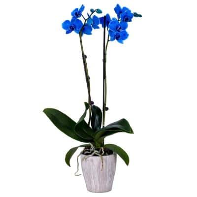 5 in. Orchid Blue in Container