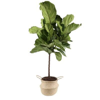 Ficus Lyrata Fiddle-Leaf Fig Standard Tree Floor Plant in 9.25 in. Natural Decor Basket