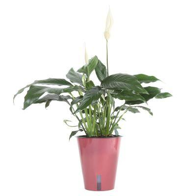 Spathiphyllum Plant in 6 in. Wick and Grow Pot