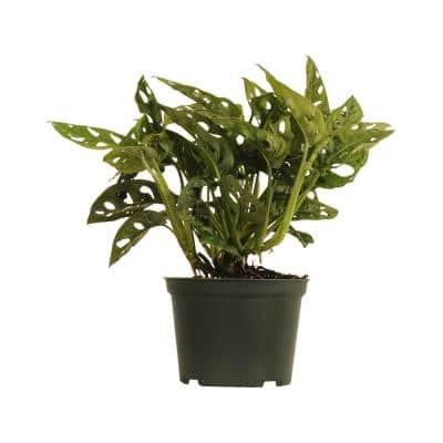 8 in. to 10 in. Tall Swiss Cheese Plant Monstera Adansonii Plant in 6 in. Grower Pot