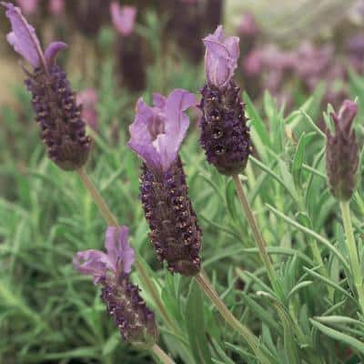 Pack of 6 French Lavender Blue Star Perennial Garden Plug Plants