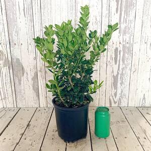 2.5 Qt. Dwarf Burford Holly (Ilex), Live Evergreen Shrub, Glossy Foliage with a Single Spin