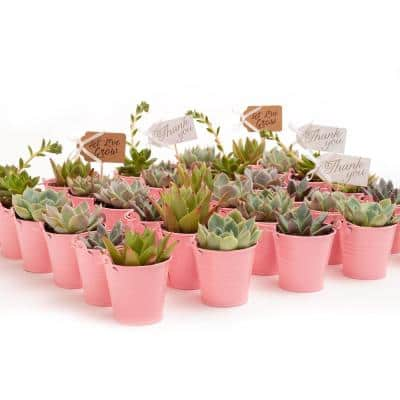 2 in. Wedding Event Rosette Succulents Plant with Pink Metal Pails and Let Love Grow Tags (100-Pack)