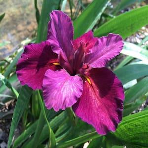 Givhandys 4 in. Potted Red Iris Velvet Elvis Louisiana Bog/Marginal Aquatic Pond Plant