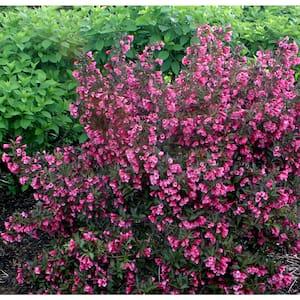1 Gal. Wine and Roses Reblooming Weigela (Florida) Live Shrub, Pink Flowers and Dark Purple Foliage