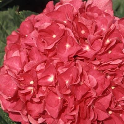 2.5 Gal - Merritt's Supreme Pink Hydrangea(Macrophylla) Live Deciduous Shrub, Pink or Blue Blooms