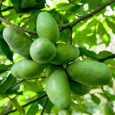 Paw Paw (Asimina) Live Bareroot Fruiting Tree (1-Pack)