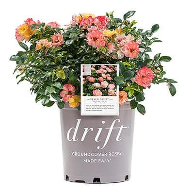 2 Gal. The Peach Drift Rose Bush with Pink Orange Flowers