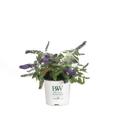 1 Gal. Pugster Amethyst Butterfly Bush (Buddleia) Live Shrub with Purple Flowers