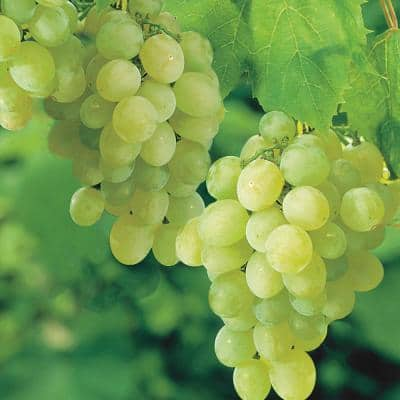 Thompson Seedless Grape (Vitis) Live Bareroot Fruiting Vine