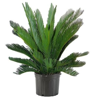 10 in. Sago Palm Tree with Feathery Bright Green Foliage