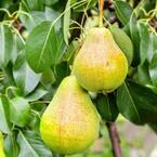 1 Gal. Baldwin Pear Tree