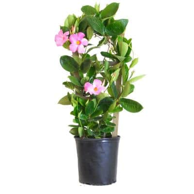 9.25 Grower Pot 28. in to 30 in. Tall Mandevilla Trellis Sun Parasol Giant Pink Live Outdoor Vining Plant