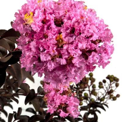 2 Gal. Delta Eclipse Crapemyrtle, Live Deciduous Shrub/Tree, Burgundy Foliage, Lavender Blooming