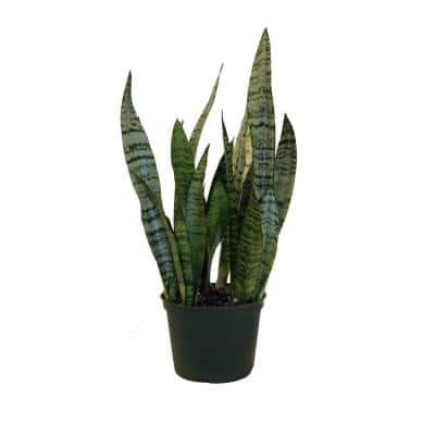 Sansevieria Zeylanica Live Indoor Snake Plant Shipped in 6 in. Grower Pot 14 in. - 22 in. Tall