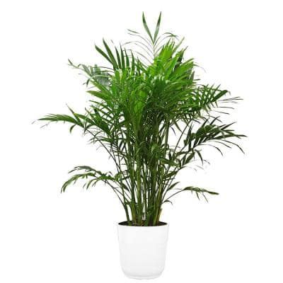 Cateracterum Palm (Cat Palm) in 9.25 in. White Paradise Planter