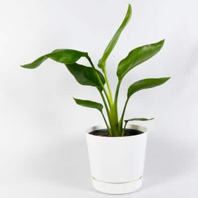 Giant White Bird of Paradise (Strelitziaceae) Live Plant Inside 6 in. White Contemporary Planter with Built-In Saucer