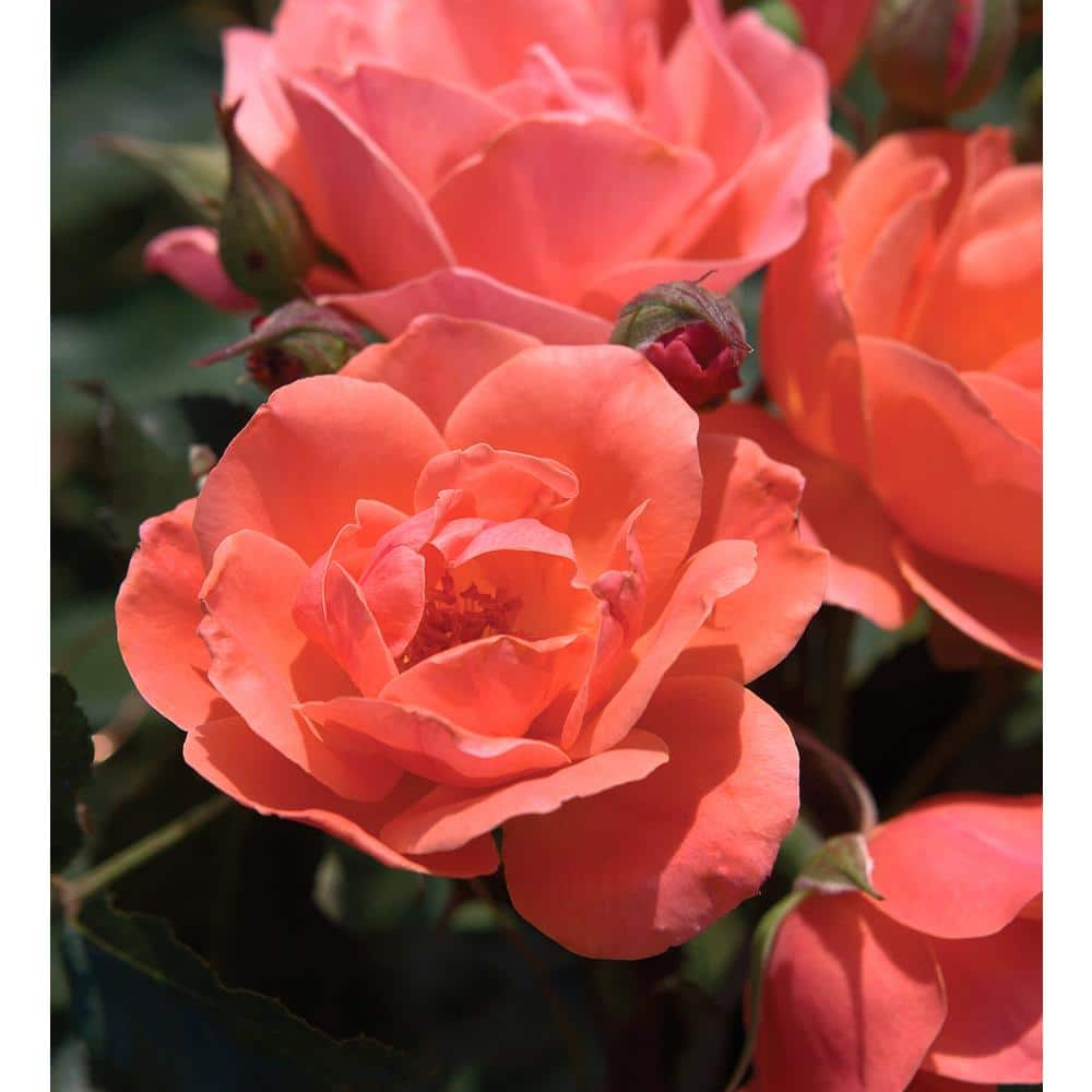 Knock Out Rose 2 Gal The Coral Knock Out Rose Bush With Brick Orange To Pink Flowers 53182 The Home Depot