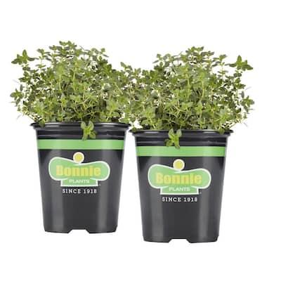 19.3 oz. Lemon Thyme Plant 2-Pack