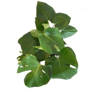 Swiss Cheese Plant Live Monstera Deliciosa Plant 24 in. to 28 in. Tall in 10 in. Beige and White Wicker Basket