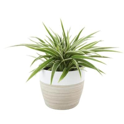 Chlorophytum Comosum Spider Live Indoor Plant in Decor Planter