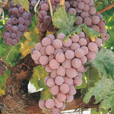 Reliance Pink Seedless Grape (Vitis) Live Bareroot Fruiting Vine (1-Pack)