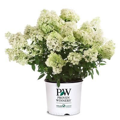 2 Gal. Bobo Hydrangea Shrub with White to Pink Flowers
