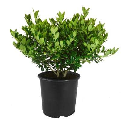 2.25 Gal. Dwarf Burford Holly Shrub with Dark Green Foliage