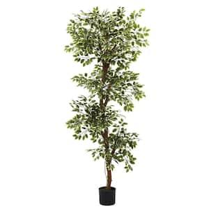 6 ft. Variegated Ficus Tree