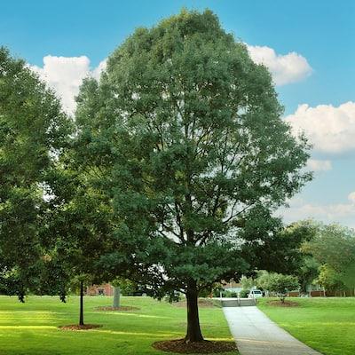 5 Gal. Shumard Deciduous Oak Tree