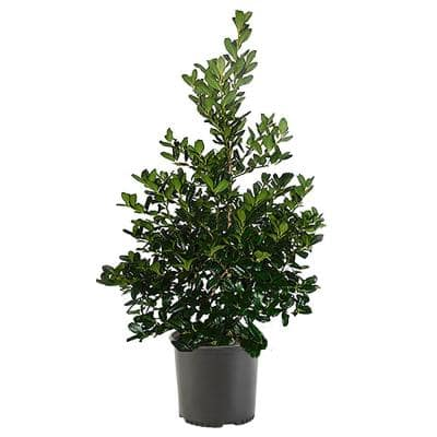 7 Gal. Nellie R. Stevens Holly Shrub with Dark Green Foliage