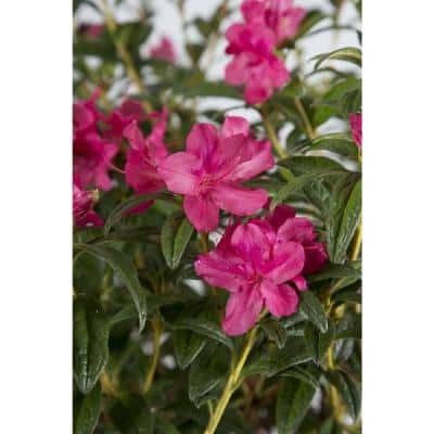 2 Gal. Autumn Jewel Shrub with Small Magenta Pink Reblooming Flowers