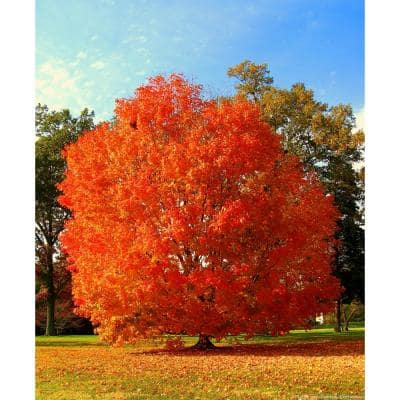 October Glory Maple Tree Bare Root