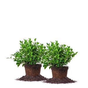 #1 August Beauty Gardenia Shrub (2-Pack)