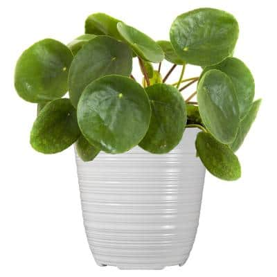 12 in. to 16 in. Tall Chinese Money Plant Pilea Peperomioides Plant in 6 in. White Decor Pot