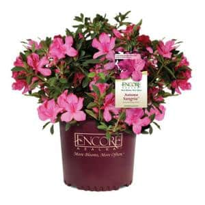 5 Gal. Autumn Sangria Shrub with Large Vibrant Neon Pink Flowers and Rich Green Foliage
