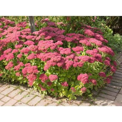 1 Gal. Autumn Joy Stonecrop Shrub With Large Fall-Blooming Pink Flowers