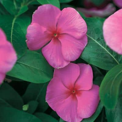 1.38-Pint Punch Periwinkle Plant