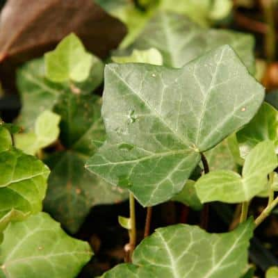 English Ivy 3 1/4 in. Pots (18-Pack) - Live Groundcover Vine