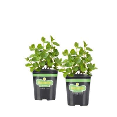 19.3 oz. Spearmint Plant 2-Pack