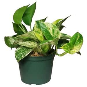 Pothos Plant in 6 in. Grower Pot
