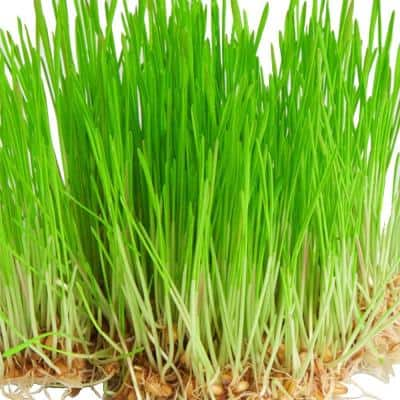 Wheat Grass Seed