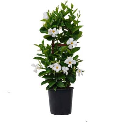 9.25 Grower Pot 28. in. to 30 in. Tall Mandevilla Trellis Sun Parasol Giant White Live Outdoor Vining Plant