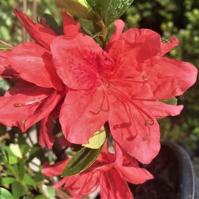 2.5 Gal - Fashion Azalea Shrub with Orange-Red Blooms
