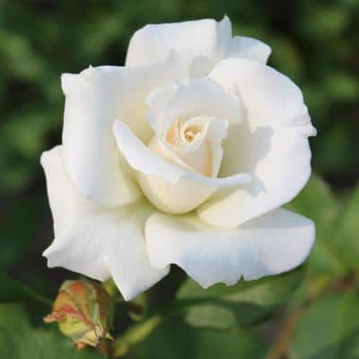 All-Time Favorites Pascali Hybrid Tea Rose with White Flowers